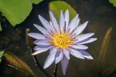 Fermez-vous vers le haut du beau lotus pourpre fleurissant dans l'étang Image stock
