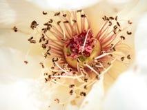 Fermez-vous vers le haut du beau macro de à l'intérieur du luxe de rose de blanc et de rose Images libres de droits