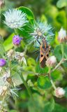 Fermez-vous vers le haut du bel insecte brun orange de macro image se reposant sur les fleurs pourpres blanches image stock