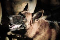 Fermez-vous vers le haut du berger allemand ou de l'Alsacien, le jeune berger allemand, le berger allemand sur l'herbe, chien en  Image libre de droits