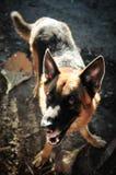 Fermez-vous vers le haut du berger allemand ou de l'Alsacien, le jeune berger allemand, le berger allemand sur l'herbe, chien en  Photos stock