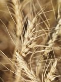 Fermez-vous vers le haut du blé. Photographie stock libre de droits