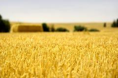 fermez-vous vers le haut du blé Images stock