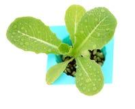 Fermez-vous vers le haut du blanc d'isolement par légume de culture hydroponique image stock
