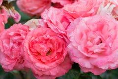 Fermez-vous vers le haut du bouquet de rose de rose dans le jardin d'agrément, ressort Photographie stock libre de droits
