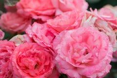 Fermez-vous vers le haut du bouquet de rose de rose dans le jardin d'agrément, ressort Image libre de droits