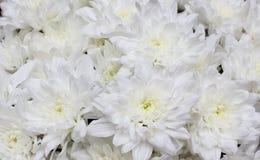 Fermez-vous vers le haut du bouquet des fleurs blanches de chrysanthème Photographie stock