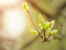 Fermez-vous vers le haut du bourgeon de la cerise d'oiseau au premier ressort, macro Photo stock