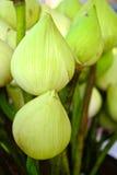 Fermez-vous vers le haut du bourgeon floral de lotus blanc Photos libres de droits