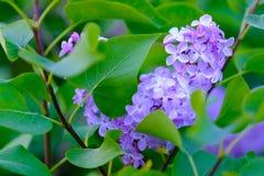 Fermez-vous vers le haut du buisson lilas violet Images libres de droits