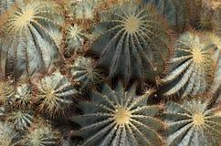 Fermez-vous vers le haut du cactus Photo stock