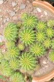 Fermez-vous vers le haut du cactus, cactus dans le vase à coupure photo libre de droits