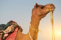 Fermez-vous vers le haut du chameau photographie stock