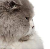 Fermez-vous vers le haut du chat britannique de Shorthair, 6 mois Images libres de droits