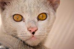 Fermez-vous vers le haut du chat domestique image stock