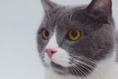 Fermez-vous vers le haut du chat gris avec le jaune oui, en se reposant par l'humeur isolée de fenêtre Foyer sélectif L'espace de Image stock