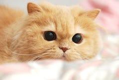 Fermez-vous vers le haut du chat persan Images libres de droits