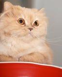 Fermez-vous vers le haut du chat persan Image libre de droits