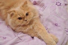 Fermez-vous vers le haut du chat persan Photographie stock libre de droits