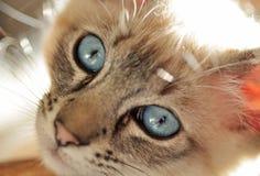 Fermez-vous vers le haut du chaton siamois observé bleu de point de lynx Images libres de droits