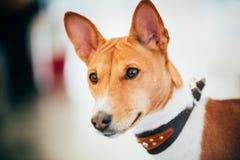 Fermez-vous vers le haut du chien de Terrier de Kongo de Basenji Photos stock