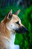 Fermez-vous vers le haut du chien thaïlandais mignon Photographie stock libre de droits