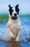 Fermez-vous vers le haut du chiot sportif actif du chien de garde fonctionnant à la mer Photographie stock