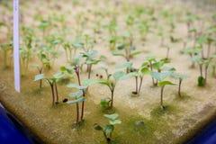 Fermez-vous vers le haut du chou frisé de jeune plante sur l'éponge pour des graines images libres de droits