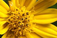 Fermez-vous vers le haut du chrysanthemum Photo stock