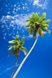 Fermez-vous vers le haut du ciel bleu d'agains de palmiers Photo libre de droits
