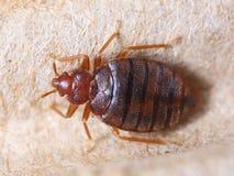 Hemipterus de Cimex photo libre de droits