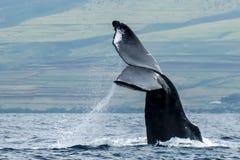 Fermez-vous vers le haut du conte de baleine de bosse avec le jet au-dessus de l'océan Photographie stock libre de droits