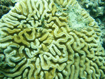 Fermez-vous vers le haut du détail Grooved Brain Coral au Grenada, la Caraïbe orientale. Photos libres de droits