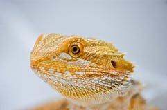 Fermez-vous vers le haut du dragon barbu Image libre de droits