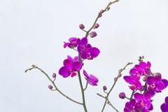 Fermez-vous vers le haut du fond de couleur d'isolement par orchidée de Blume de Phalaenopsis Photo stock