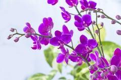 Fermez-vous vers le haut du fond de couleur d'isolement par orchidée de Blume de Phalaenopsis Photos libres de droits