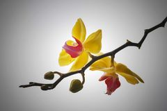 Fermez-vous vers le haut du fond de couleur d'orchidée de Blume de Phalaenopsis Image libre de droits