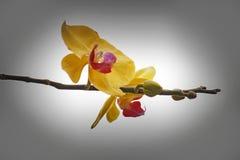 Fermez-vous vers le haut du fond de couleur d'orchidée de Blume de Phalaenopsis Photos stock