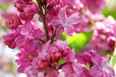 Fermez-vous vers le haut du fond de fleurs de lilas Photographie stock