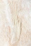 Fermez-vous vers le haut du fond de laines de moutons de Boer Photos stock