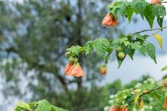 Fermez-vous vers le haut du fond floral de fleur colorée, jardin extérieur Île tropicale de Bali, Indonésie Photos stock