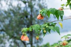 Fermez-vous vers le haut du fond floral de fleur colorée, jardin extérieur Île tropicale de Bali, Indonésie Photo libre de droits