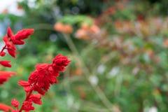 Fermez-vous vers le haut du fond floral de fleur colorée, jardin extérieur Île tropicale de Bali, Indonésie Image libre de droits