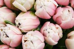 Fermez-vous vers le haut du fond floral des tulipes attrayantes légères Photo libre de droits