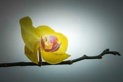 Fermez-vous vers le haut du fond jaune de couleur d'orchidée de Blume de Phalaenopsis Image libre de droits