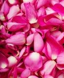 Fermez-vous vers le haut du fond rose de pétale de rose Photographie stock