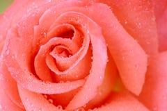 Fermez-vous vers le haut du fond rose de rose Photos stock