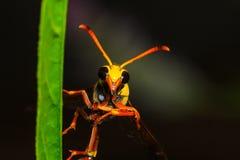 Fermez-vous vers le haut du frelon sur la feuille verte Photo libre de droits