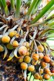 Fermez-vous vers le haut du fruit de palmier - Cycas Image stock