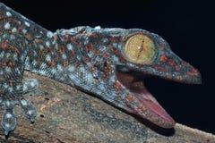 Fermez-vous vers le haut du gecko photographie stock